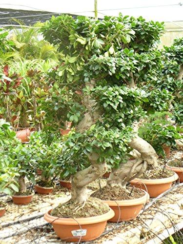 Bonsai / Ficus microcarpa
