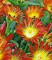 """BALDUR-Garten Winterharte Eisblume """"Fire Wonder"""";3 Pflanzen, Delosperma congesta von Baldur-Garten bei Du und dein Garten"""