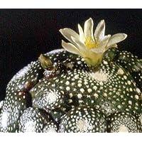 Blossfeldia liliputana seeds