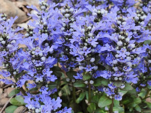 ajuga-reptans-chocolate-chip-bugle-x-3-plug-plants
