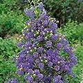 Amerikanischer-Flieder-Stämmchen Ceanothus griseus Yankee Point®, 1 Stämmchen von Amazon.de Pflanzenservice bei Du und dein Garten
