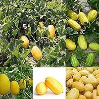 ScoutSeed 10 piezas: Semillas de melón amarillo comestible de frutas vegetales comestibles de primera calidad S5DY