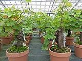 Bonsai Vitis Vinifera