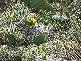 3 verschiedene winterharte Opuntien/Feigenkaktus nach Sorten Set Nr. 6 im 9cm Topf
