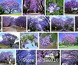 Baumsamen Blume 100 Stück Blau Lila Palisanderholzbaum Baum Strauch, Blumen! Gartenbonsai Pflanzen
