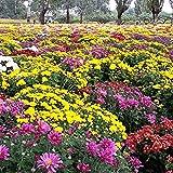 LUFA 100 teile / beutel bodenbedeckung Chrysantheme Samen Chrysantheme Morifolium Garten Blumensamen