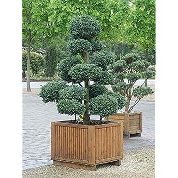 chamaecyparis pisifera boulevard bonsai 80 100 cm. Black Bedroom Furniture Sets. Home Design Ideas
