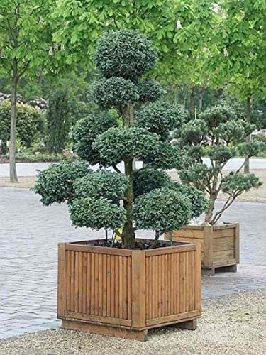 garten bonsai Chamaecyparis pisifera Boulevard Bonsai (80-100 cm) - Faden-Scheinzypresse, Erbsenfrüchtige Scheinzypresse