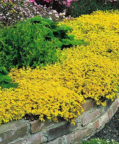 Keland Garten - 100pcs Raritäten Kletterpflanzen Gelber Mauerpfeffer Bondendecker bienenfreundlich Blumensamen Mischung winterhart mehrjährig geeignet für Garten Stein