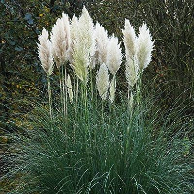 Pampasgras silberweiß von Meingartenshop auf Du und dein Garten