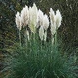 Pampasgras silberweiß - 1 pflanze