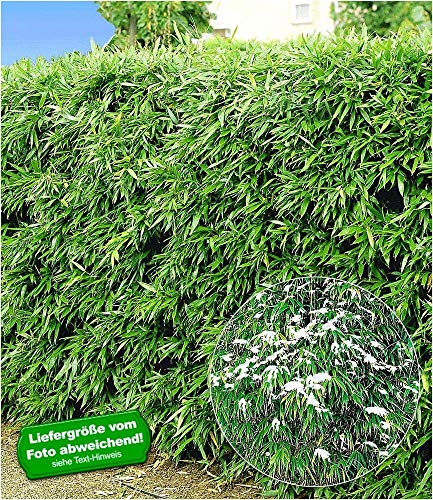 BALDUR-Garten Winterharte Bambus-Hecke,5 Pflanzen