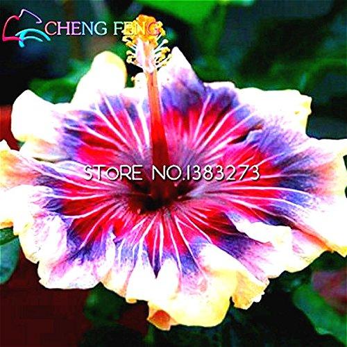 Auf Verkaufs-100pcs Hibiscus Samen 17kinds Hibiscus rosa-sinensis Blumensamen Hibiskus Baum Bonsai für Raum Blumen Topfpflanzen * - Topfpflanze Hibiscus
