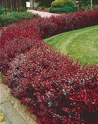 10 Berberis rouge
