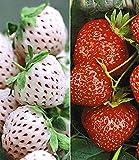 BALDUR-Garten Erdbeeren-Raritäten-Kollektion 'Sengana Selektion &'Natural White', 9 Pflanzen Fragaria Vergleich