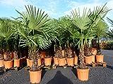 XXL 180 cm Palme winterhart, Trachycarpus fortunei, Hanfpalme + Bonsai Zitrone 30 - 40 cm