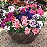 100 PC / bolso doble pétalos de petunia semillas semillas de flores bonsái altura Corto flores del jardín semillas de plantas de interior o ourdoor olla 1
