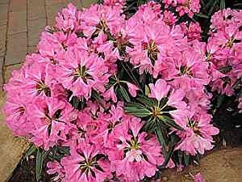 Rhododendron pontica Graziella - 30-40 cm