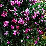Murieo 100 Stücke Blumensamen Kletterpflanzen/Parfümregenbogen-Kletterpflanzenblumensamen,Bunte Rock Cress Blumensamen,Bodendeckerpflanze für Hausgarten (Rose rot/100 Stück/Beutel)