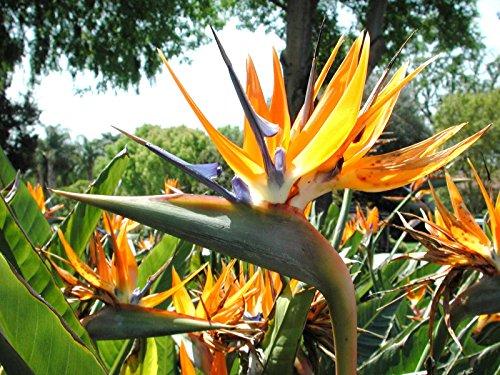 30 graines d'oiseaux de paradis, fleur Strelitzia Reginae grue Fleur exotique Graine