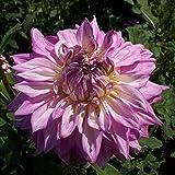 1 x Dahlia Décoratif Géant 'Sir Alf Ramsey' - Bulbes d'Eté Vivaces - Tubercule - Fleur Double Rose Cyclamen