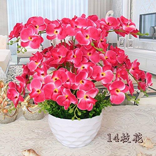 Schmetterlingsorchidee Zweifarbige Blüte