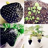 Kisshes Seedhouse - 100pcs Bio Rare fraisiers à récoltes échelonnées plante vivace graines plant fruitier jardin juteuse savoureuse sucrée