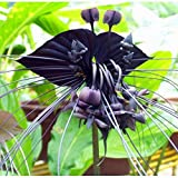 100pcs / bag Black Tiger Orchid Blumen Samen Seltene Blumen-Orchideen-Samen für Garten & Heim Pflanzen Bonsai
