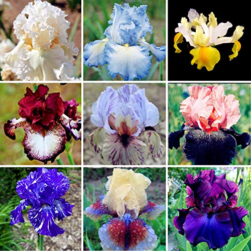 Wecold Iris Samen Bonsai - 50 Samen Seltene Mehrjährige Blumensamen Hausgarten Pflanzen
