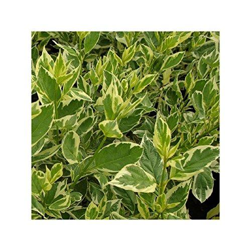 Cornouiller stolonifère - Cornus sericea 'White Gold'