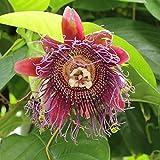 Asklepios-seeds - 25 Semi di Passiflora quadrangularis, Granadilla Gigante