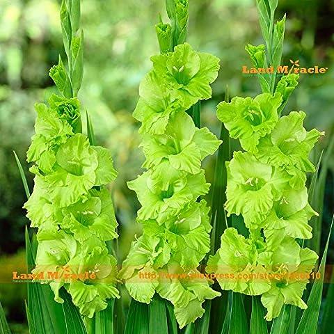 Die Welt Flowers 'Green Star' Gladiolen Samen, 50 Samen / Pack, Grün Auffälliges Lily Für Hausgarten-Pflanzen der frühen Blüte