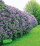 BALDUR-Garten Flieder-Hecke, 6 Pflanzen Edelflieder Fliedertraum Blüten-Hecke Syringa vulgaris