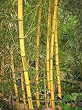 Semi organici: 1000 legname boo Semi pasta sfoglia viridis giovane Boo da Farmerly