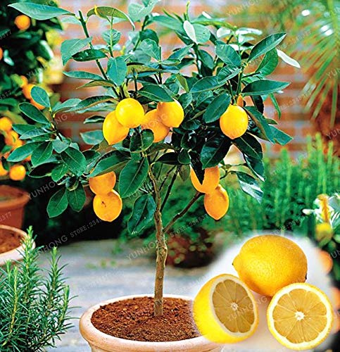 plentree 10 pcs/bag commestibile frutta meyer limone bonsai esotico bonsai lemon tree fresh bonsai facile da coltivare s per la casa giardino