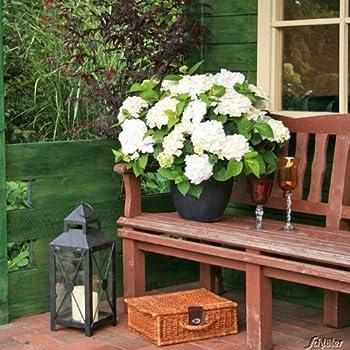 hortensie endless summer 39 the bride 39 garten. Black Bedroom Furniture Sets. Home Design Ideas