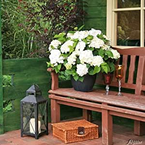 hortensie endless summer 39 the bride 39 garten. Black Bedroom Furniture Sets. Home Design Ideas