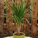 Dracaena Standard P11 - 1 plante