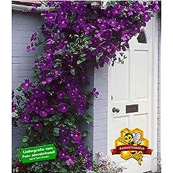 BALDUR-Garten Clematis The President® Kletterpflanze Waldrebe, 1 Pflanze winterhart Klematis mehrjährige blühende Kletterpflanzen