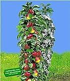 BALDUR-Garten Säulen-Apfel 'Red River', Apfelbaum 1 Pflanze Malus domestica