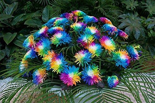 etsynet-20-rainbow-chrysanthemum-flower-seeds-rare-color-new-arrival-diy-home-garden