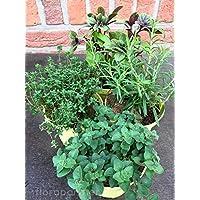 1 Marktfrische Oregano Pflanze Goldoregano