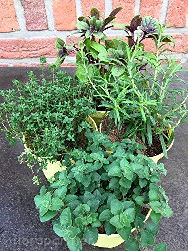 """Kräuterpflanzen Set\""""Pizza & Pasta\"""" für die Mediterrane Küche 4 Pflanzen"""