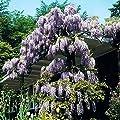 Gärtner Pötschke Blauregen Amethyst Falls® von Gärtner Pötschke bei Du und dein Garten