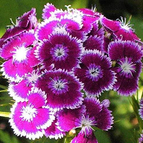 Soteer Garten- 10 Korn Stiefmütterchen Saatgut Zierblumen Eingemachte Gemischte Bunte Pansy Blumensamen Riesenblumige Pflanze winterhart mehrjährig