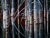 The Poster Corp Tim Fitzharris – Western Red Cedar trees Oliphant Lake British Columbia Canada Fine Art Print (27.94 x 35.56 cm)