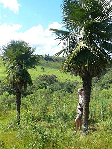 Palme, Trithrinax acanthocoma - Brasilianische Nadelpalme Gesamthöhe: 90-110 cm, Stamm: 15-25cm, Topf: Ø 30cm