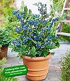 BALDUR-Garten Topf-Heidelbeere Blaubeeren Heidelbeeren Pflanze, 1 Pflanze Vaccinium corymbosum reichtragend Heidelbeere für Töpfe und Kübel