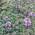 lichtnelke - Teppich-Thymian (Thymus ' RASTA') von Lichtnelke Pflanzenversand - Du und dein Garten