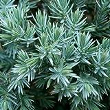 Juniperus squamata var.Blue star - Pino de San Jose - Maceta de 10Litros